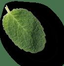 mint leaves 1a